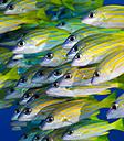 Oceania, Palau, Schoal of bluestripe snappers - JWAF000130