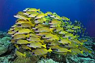 Oceania, Palau, Schoal of bluestripe snappers - JWAF000132