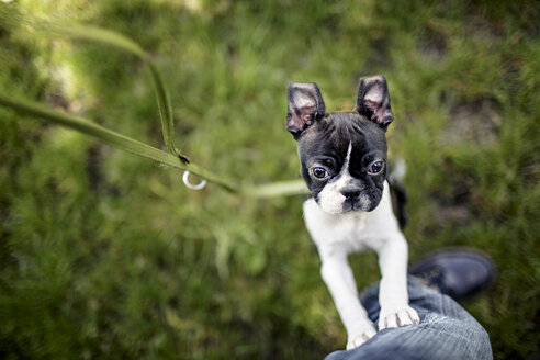 Germany, Rhineland-Palatinate, Boston Terrier, Puppy with master - NIF000008