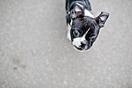 Germany, Rhineland-Palatinate, Boston Terrier, Puppy on road - NIF000009