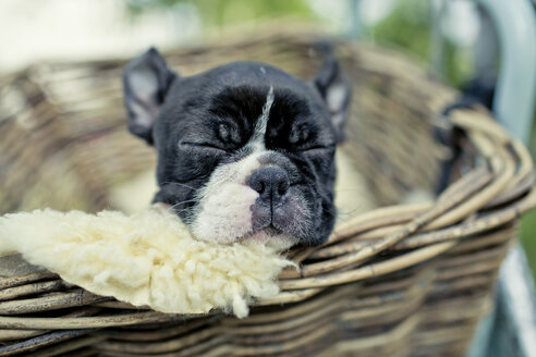 Germany, Rhineland-Palatinate, Boston Terrier, Puppy sleeping in a dog basket - NIF000010