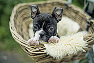 Germany, Rhineland-Palatinate, Boston Terrier, Puppy lying in a dog basket - NIF000011