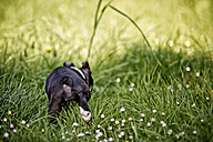 Germany, Rhineland-Palatinate, Boston Terrier, Puppy walking on meadow - NIF000013