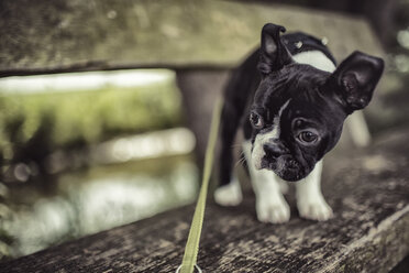 Germany, Rhineland-Palatinate, Boston Terrier, Puppy standing on bench with dog lead - NIF000014