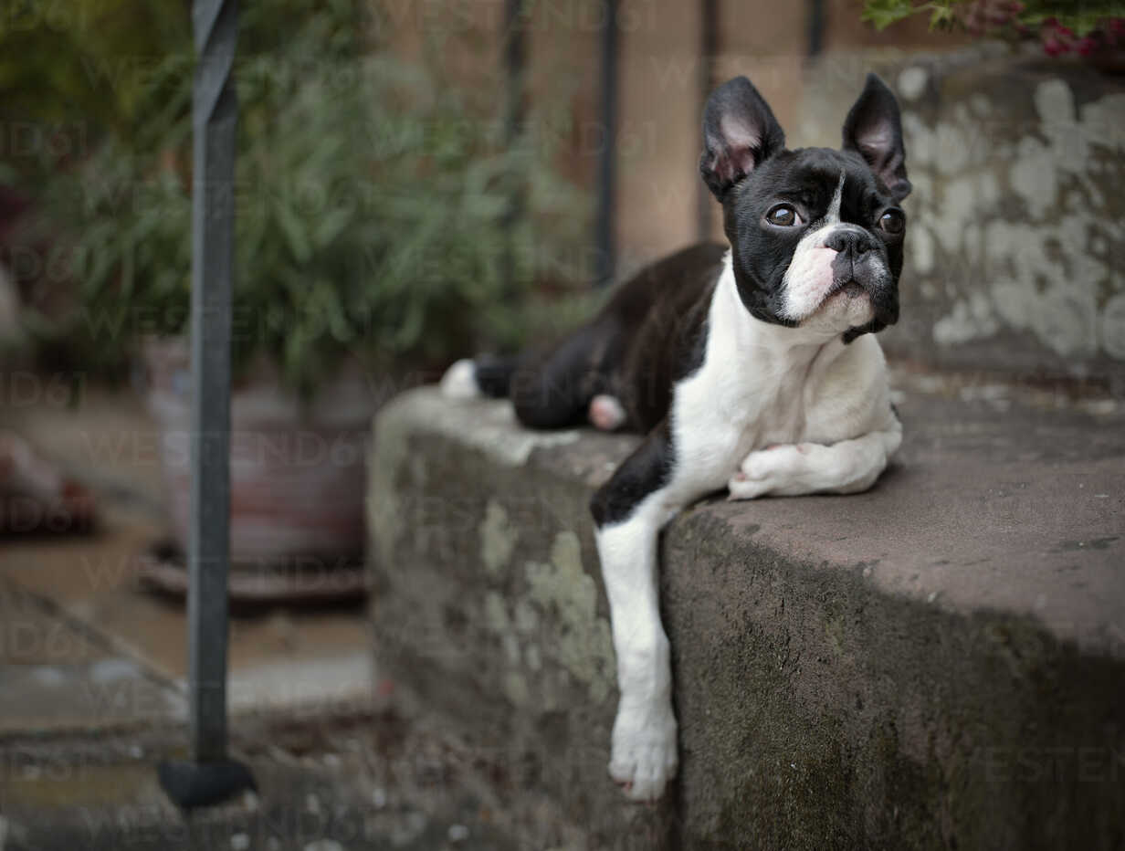 Germany, Rhineland-Palatinate, Boston Terrier, Puppy lying on step - NIF000015 - Nailia Schwarz/Westend61