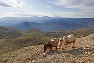 Turkey, Anatolia, two donkeys on Mount Nemrut - SIEF005533