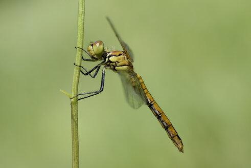 Ruddy darter, Sympetrum sanguineum, hanging on blade of grass - MJOF000533