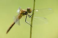 Ruddy darter, Sympetrum sanguineum, hanging on blade of grass - MJOF000535