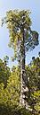 New Zealand, South Island, Tasman, Kahurangi national park, mountainous native forest with Southern beech tree - SHF001537
