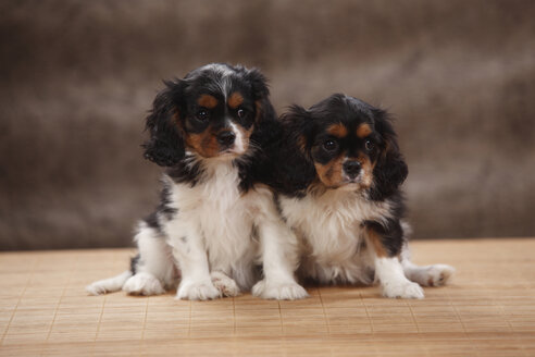 Portrait of two Cavalier King Charles spaniel puppies, studio shot - HTF000494