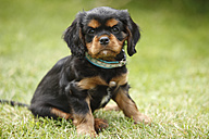 Cavalier King Charles spaniel puppy sitting on a meadow - HTF000476
