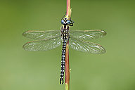 Hairy dragonfly, Brachytron pratense, hanging on stem in front of green background - MJOF000538