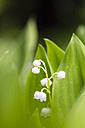 Germany, Fuldabruck, Lily of the Valley, close up - SRF000623