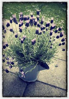 blooming lavender - LHF000374
