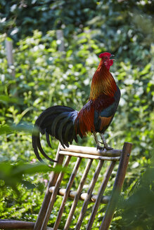Germany, Hesse, Stedebach, crowing Italian cock on back rest of a chair in the garden - AK000403