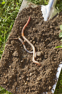 Two earthworms on spade with soil - AKF000401