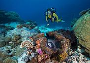 Oceania, Palau, female diver watching Tridacna maxima - JWAF000149