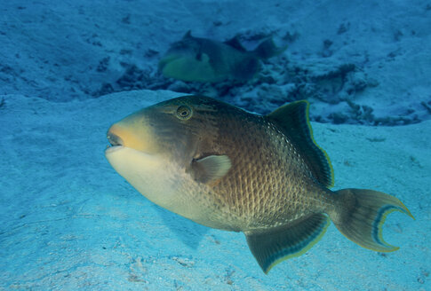 Palau, Pacific Ocean, yellowmargin triggerfish at his nest - JWAF000152