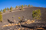 Spain, Canary Islands, Tenerife, Mirador de Chio, Teide National Park, Canary Island Pines, Pinus canariensis - WGF000374