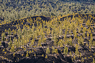 Spain, Canary Islands, Tenerife, View from Mirador de Chio, Teide National Park, Canary Island Pines, Pinus canariensis - WGF000379