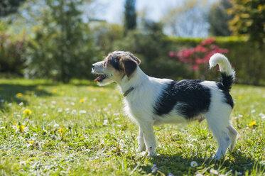 Jack Russel Terrier puppy in garden - MJF001304