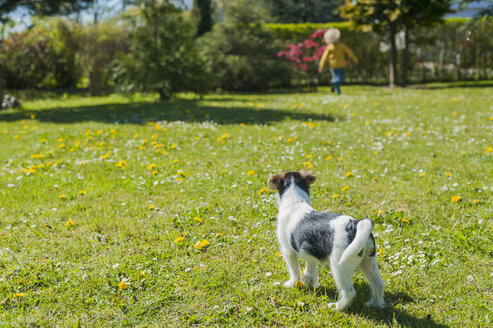 Jack Russel Terrier puppy in garden with boy in background - MJF001322
