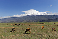 Turkey, Eastern Anatolia, Agri Province, Mount Ararat, Cows on meadow - SIE005649