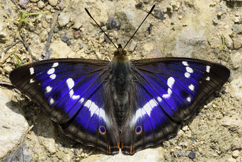 Purple Emperor, Apatura iris, with spread wings sitting on soil - MJOF000565