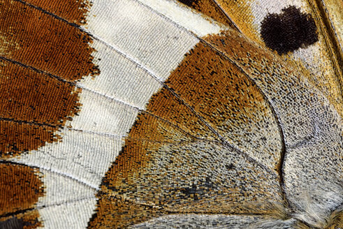 Detail of wing of Purple Emperor, Apatura iris - MJOF000568