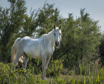 France, Camargue, Camargue horse standing - MKFF000016