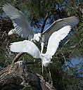 France, Camargue, two little egrets fighting - MKFF000019