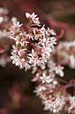 Germany, Common houseleek, Sempervivum tectorum, Flower - MYF000489