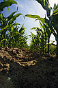 Germany, rows of young maize plants - HOHF000910