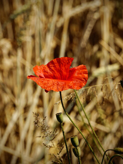 Blossom of red poppy, Papaver rhoeas, in front of a field - HOHF000914