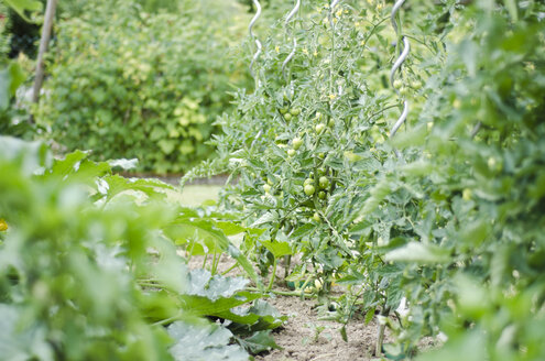 Tomatoes growing in a garden - CZF000159
