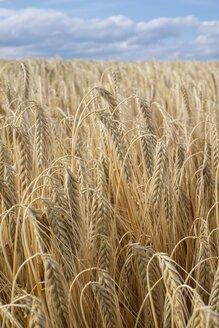 Spikes of barley, Hordeum vulgare, in front of cloudy sky - ELF001177
