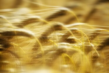 Moving spikes of a barley field, Hordeum vulgare - ELF001181