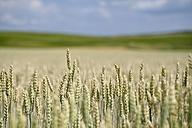 Landscape with wheat field, Triticum aestivum, in the foreground - ELF001183