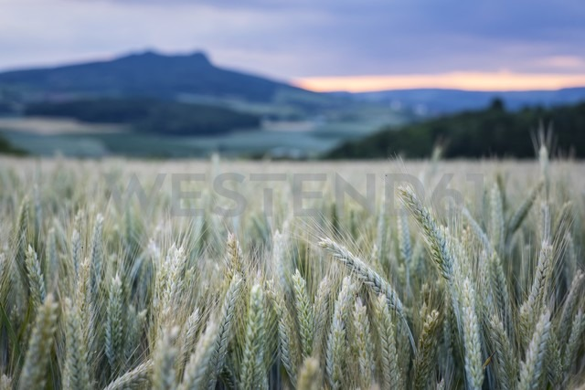 Germany,  Baden-Wuerttemberg, Constance district, view to Hohenstoffeln with barley field in the foreground - ELF001185