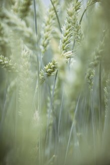 Spikes of wheat, Triticum aestivum - ELF001188