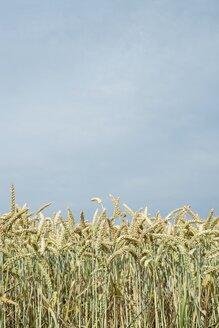 Wheat field, Triticum aestivum, in front of sky - ELF001191