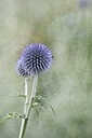 Two globe thistles, Echinops - ELF001197