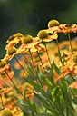 Blossoms of sneezeweed, Helenium - ELF001199