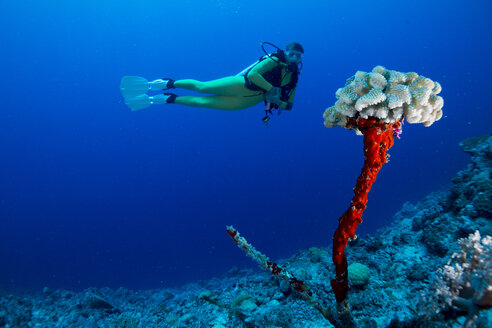 Oceania, Palau, female diver watching leftover of dead coral with new life on top - JWAF000168