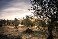 Italy, Tuscany, landscape at sunset with olive trees - SBDF001074