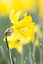 Daffodils, Narcissus pseudonarcissus - SRF000648