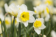 Daffodils, Narcissus - SRF000651