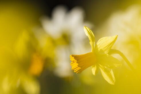 Daffodils, Narcissus pseudonarcissus, at sunlight - SRF000684
