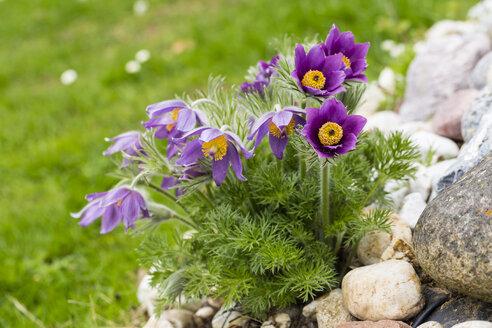 Germany, Common pasque flower, Pulsatilla vulgaris - SRF000694