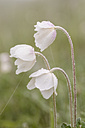 Three blossoms of snowdrop anemones, Anemone sylvestris, with water drops - SRF000699